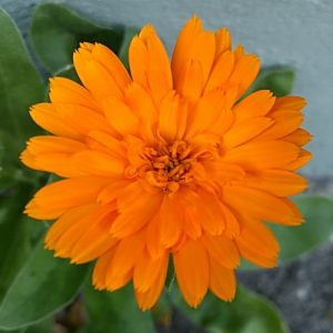 Ringelblume Calendula Pascoe Naturmedizin