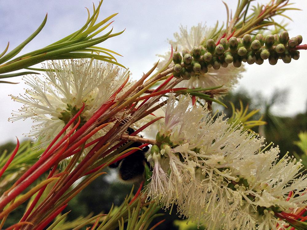 Ätherische Öle in der natürliche Reiseapotheke: Blühender Teebaum